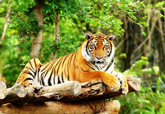Bengal tiger India - photo c/o indusexperiences.co.uk