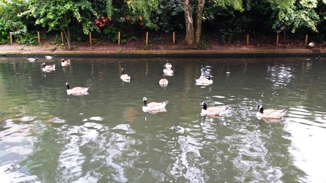 Canada geese on Worcester and Birmingham Canal