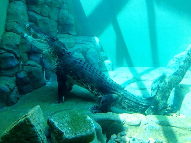 Saltwater Crocodile underwater at Crocosaurus Cove, Darwin