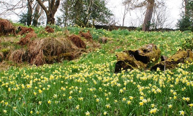 Dora's Field daffodils - photo by Zoe Dawes