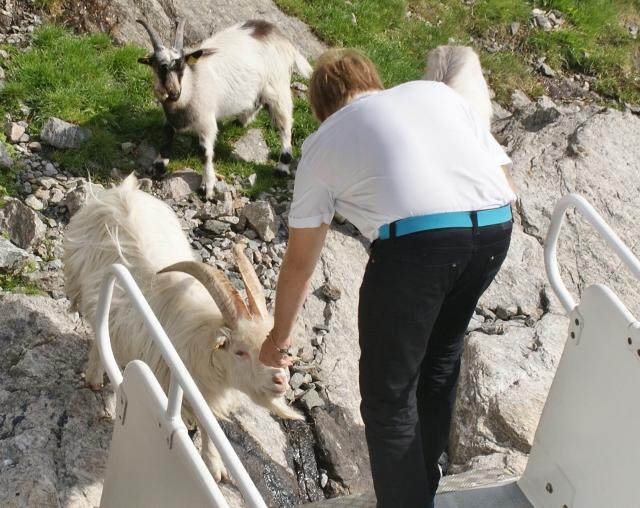 Feeding goats Lysefjord Norway