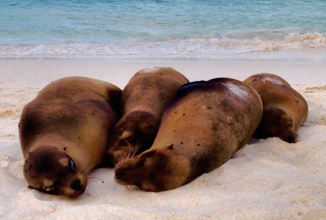 Four sea lions on Gardner Bay, Espanola Galapagos - image Zoe Dawes