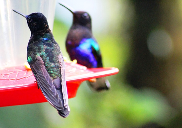 Colourful Hummingbirds at Mashpi rainforest - image Zoe Dawes