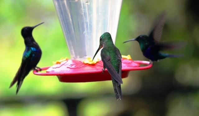 Trio of Hummingbirds Mashpi rainforest Ecuador - image Zoe Dawes