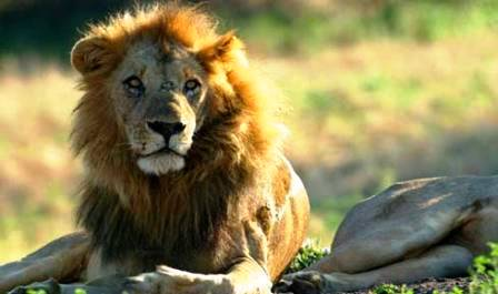 Lion seen at Chongwe River in Zambia