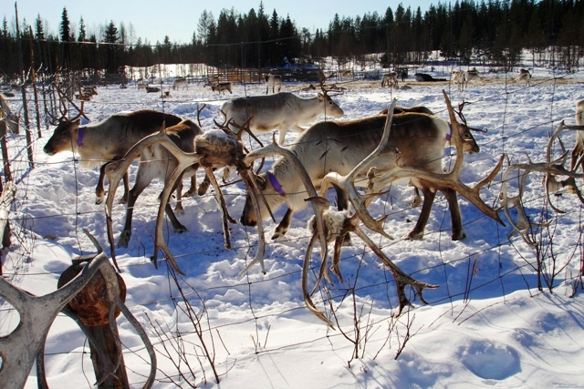 Reindeer farm Finland - quirky traveller