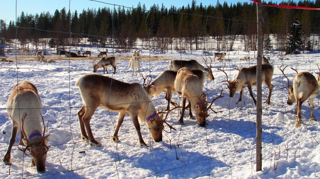 Reindeers on Finland Farm - Quirky Traveller
