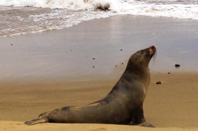 Sea lion on San Cristobal, Galapagos Island - image Zoe Dawes