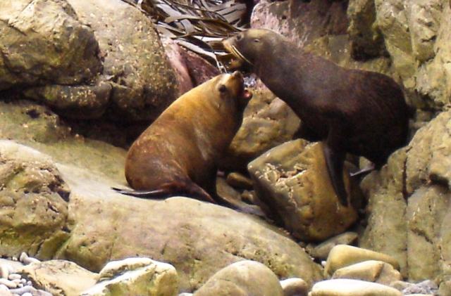 Seals at Ohau Point near Kaikoura, New Zealand - photo Zoe Dawes