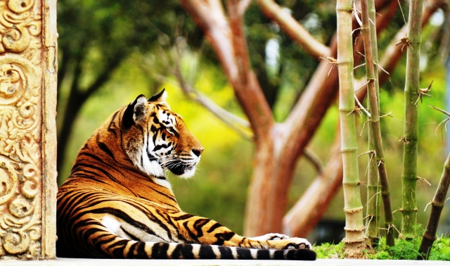 Bengal Tiger India lying down - photo c/o www.indusexperiences.co.uk