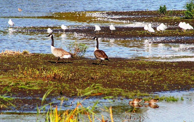 Birds at Montezuma National Wildlife Refuge NY - by lidarose