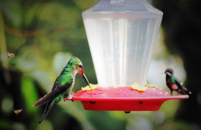 Feeding hummingbirds Mashpi rainforest Ecuador - image Zoe Dawes