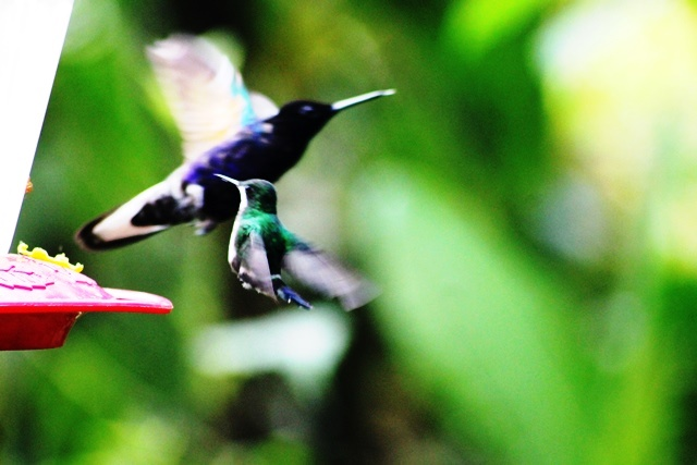 Hummingbirds in flight Mashpi rainforest Ecuador - image Zoe Dawes