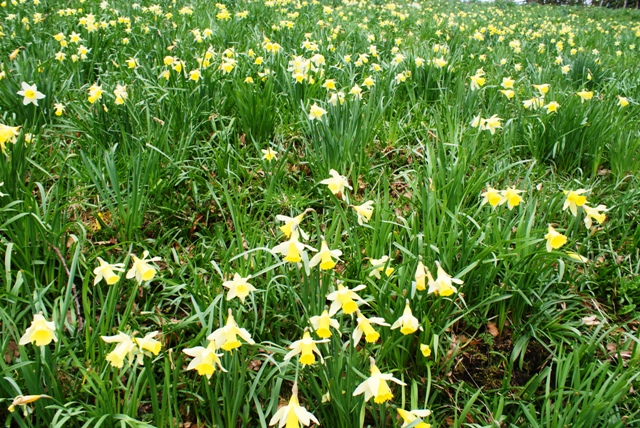 Lake District daffodils - photo by Zoe Dawes