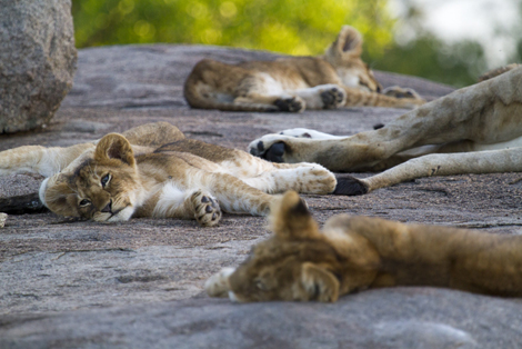 Lamai nomad lions on luxury safari in Africa