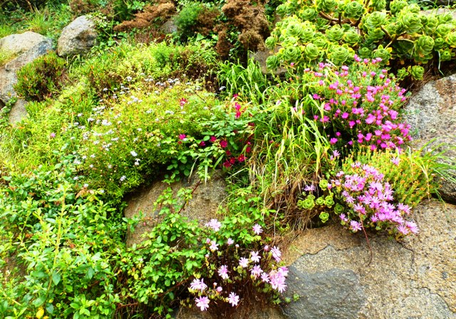 Rosiere Steps plants, Herm, Channel islands