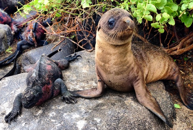 Sea Lion with Marine Iguana on Espanola, Galapagos Islands - image Zoe Dawes