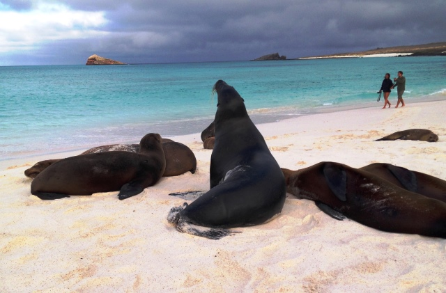 Sea lions at Gardner Bay, Espanola in the Galapagos Islands - image Zoe Dawes