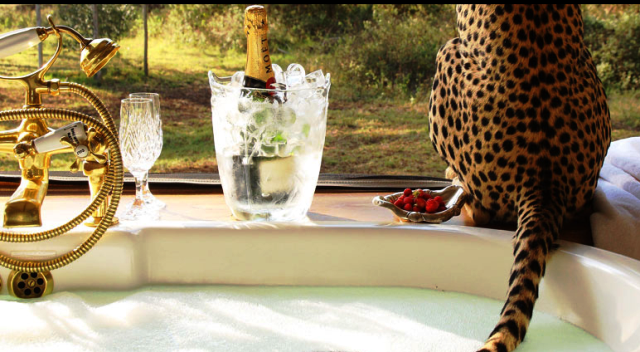 Sheba the cheetah at Sirikoi Lodge, Kenya - image Luxury Safari Company