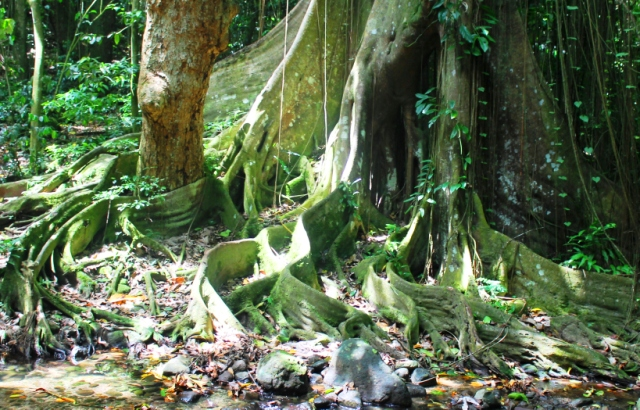 Kapok tree roots in rainforest St Kitts - by Zoe Dawes