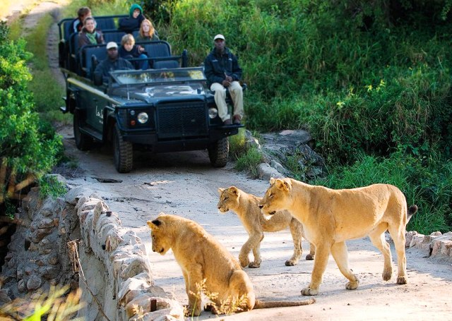 Luxury lion safari in Africa