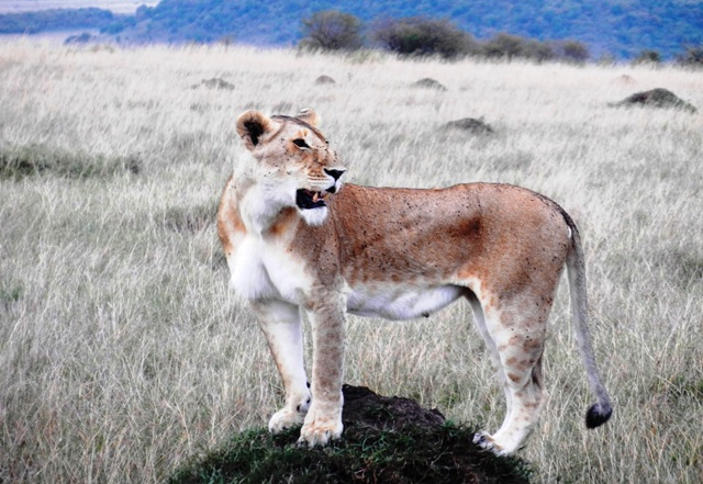 Masai Mara lion in Africa - luxury safari